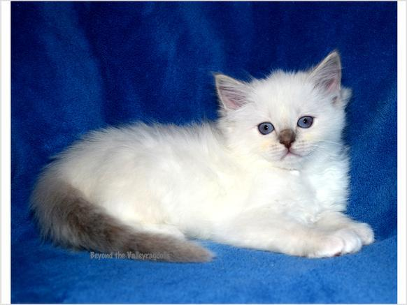 Awesome TICA Ragdoll kittens Ready for you!