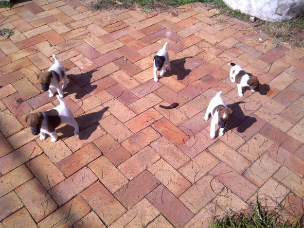 Fox terrier smooth puppies for sale for Sale in Vereeniging, Gauteng ... Smooth Fox Terrier South Africa