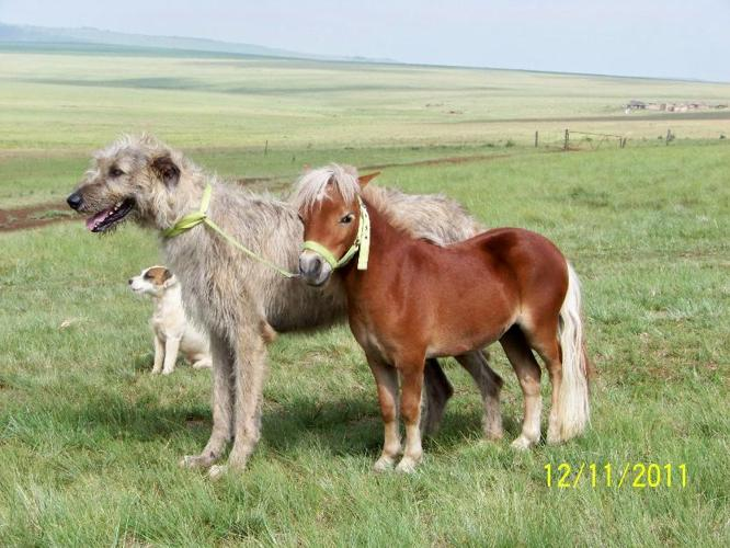 Irish wolfhounds for Sale in Ermelo, Mpumalanga Classified ...