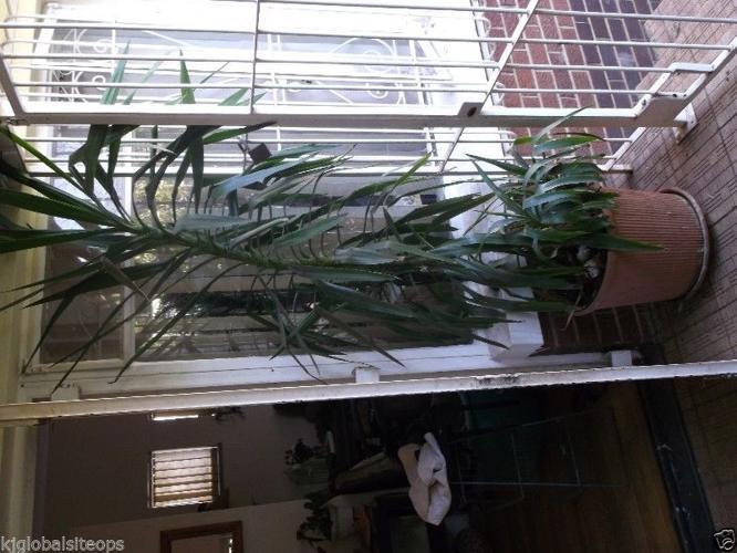 large Yukka in pot