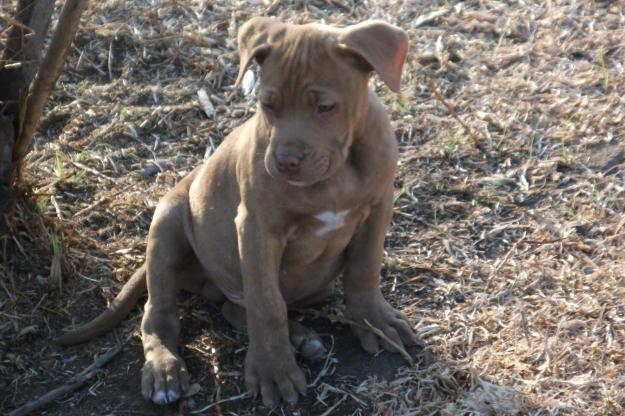 Registered Pitbull Puppies for Sale in Vanderbijlpark