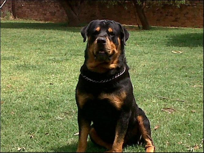Rottweilers for Sale i... Rottweiler 3 Year Old
