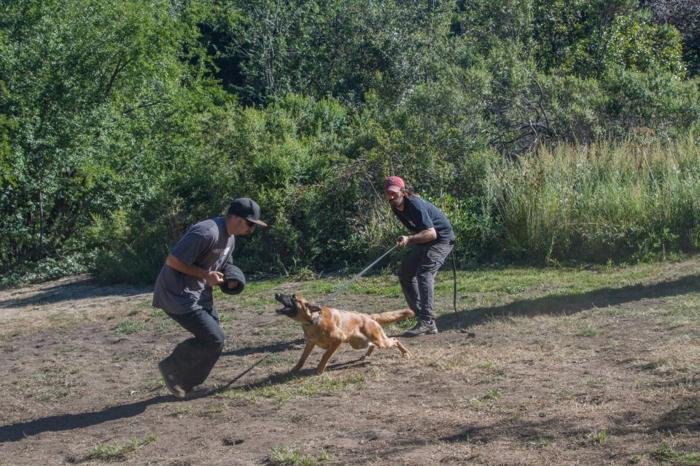 Trained Personal Protection and Guard Dogs And Puppies