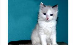 Breed: Ragdoll Age: 12 weeks Friendly blue bicolor male
