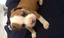 Beautiful Purebred Amstaff Puppies for sale. I still