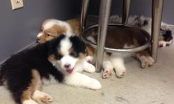 e have 5 males and 2 females australian shepherd
