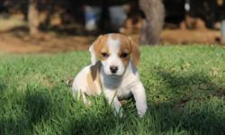 Beautiful Beagle X Jack Russell puppies. Only males