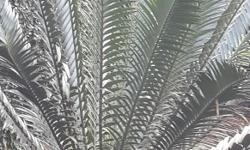 Cycad collection for sale