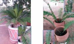 A Nice collection of 8 Cycads in pots. Check the