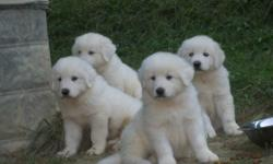 We have litters of great pyrenees puppies available and