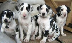 a new litter of gorgeous Great Dane puppies available.