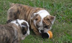 Gorgeous English Bulldog Puppy. Pictured is a male from