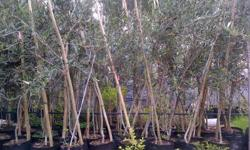 Now is the time to plant new trees!! Large olive trees