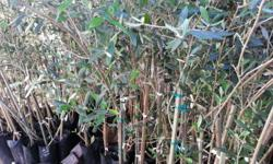 OLIVE TREES FOR SALE. ONLY R60 PER TREE - 1,5 - 1,9