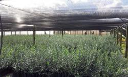 OLIVE TREES FOR SALE. AUTUMN SPECIAL - ONLY R50 PER
