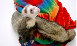 These ferrets are so lovely and adorable,and will make