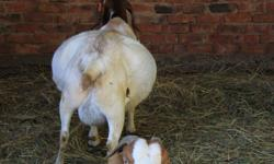 We are specialized in breeding several livestock studs