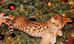 We have available Savannah F1male and female kittens .