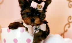 we have available teacup yorkie puppies available,