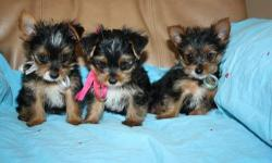 Healthy teacup yorkshire terrier puppies ready for