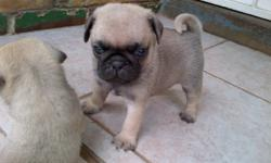 We own 3 fawn colour pug puppies and 3 black that we