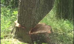 we offer professional tree felling and site clearing